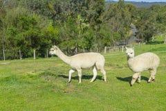 Una vista di due alpache lanuginose in un'azienda agricola Fotografia Stock