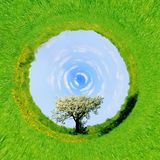 una vista di 360 gradi di singolo albero sbocciante in primavera Immagine Stock Libera da Diritti