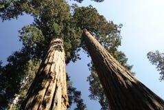 Una vista di prospettiva di due alberi della sequoia gigante Immagini Stock Libere da Diritti