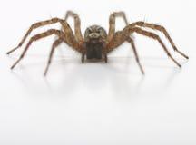 Una vista frontale del ragno Fotografie Stock Libere da Diritti