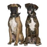 Una vista frontale di due cani del pugile, sedentesi Fotografia Stock Libera da Diritti
