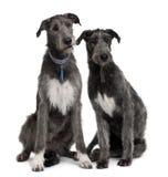 Una vista frontale di una seduta dei due Wolfhounds irlandesi immagine stock