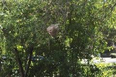 Una vista lateral de una jerarquía peligrosa de la avispa en la distancia Foto de archivo libre de regalías