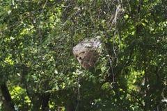 Una vista lateral de una jerarquía peligrosa de la avispa en la distancia Imagen de archivo