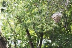 Una vista lateral de una jerarquía peligrosa de la avispa en la distancia Fotografía de archivo