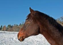 Una vista lateral del caballo excelente de la bahía en invierno Fotografía de archivo