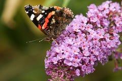 Una vista laterale di bello atalanta di ammiraglio rosso Butterfly Vanessa si è appollaiata su un fiore del buddleia con suo nect Fotografia Stock Libera da Diritti