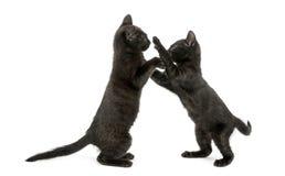 Una vista laterale di due gattini neri che giocano, 2 mesi, isolati Fotografia Stock
