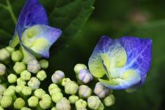 Una vista macra de un flor púrpura de la hortensia fotos de archivo