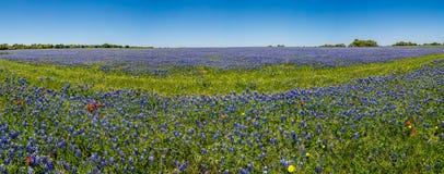 Una vista panoramica di alta risoluzione grandangolare di un campo di Texas Bluebonnets famoso Fotografia Stock Libera da Diritti