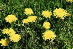 Una vista piacevole dei fiori del dente di leone fotografia stock libera da diritti