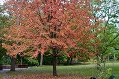Una vista piacevole di un albero di acero immagini stock