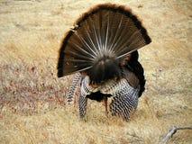 Una vista posterior de las plumas de cola avivadas de apuntalar el pavo de tom Imagenes de archivo
