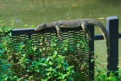 Una vista rara e inusual de un lagarto de monitor que toma el sol en una cerca de acero en un parque tailandés enorme del jardín Foto de archivo libre de regalías