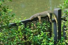 Una vista rara e inusual de un lagarto de monitor que toma el sol en una cerca de acero en un parque tailandés enorme del jardín Imagen de archivo libre de regalías