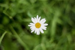 Una vista superiore di un fiore della camomilla su fondo di erba verde immagine stock
