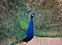 Una visualización masculina hermosa del pavo real Imágenes de archivo libres de regalías