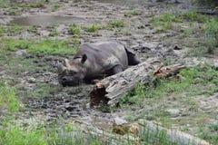 Una vita del ` s di rinoceronte Fotografia Stock Libera da Diritti