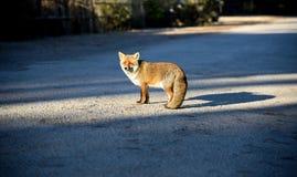Una volpe rossa Fotografie Stock Libere da Diritti