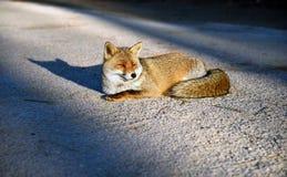 Una volpe rossa Fotografia Stock Libera da Diritti