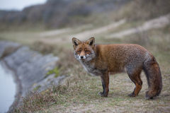 Una volpe rossa comune Fotografia Stock