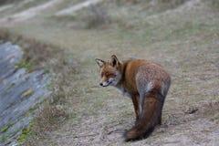 Una volpe rossa comune Immagine Stock