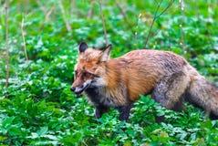 Una volpe selvaggia cammina nel parco della molla del ` s della città Immagini Stock