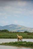 Una yegua y un it& salvajes x27; potro de s en una laguna Imagen de archivo