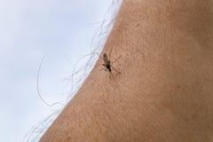 Una zanzara si siede sulla mano, perfora la pelle e succhia il sangue umano Causa la malaria di malattia Le zanzare sono pericolo immagine stock