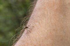 Una zanzara si siede sulla mano, perfora la pelle e succhia il sangue umano Causa la malaria di malattia Le zanzare sono pericolo fotografia stock