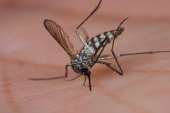 Una zanzara squished del Aedes sulla palma umana Immagini Stock