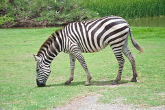 Una zebra Fotografie Stock