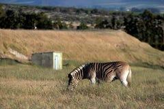 Una zebra africana che pasce fotografie stock