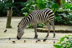 Una zebra che si alimenta allo zoo Fotografie Stock Libere da Diritti