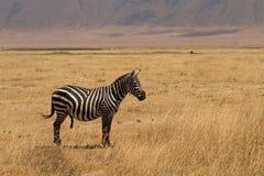 Una zebra con una costruzione Fotografie Stock Libere da Diritti