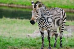 Una zebra del ` s di Grevy Fotografia Stock