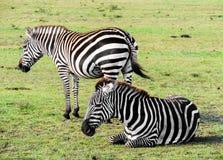 Una zebra delle pianure riposa mentre l'altra monta la guardia immagine stock libera da diritti