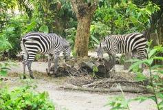Una zebra di due giovani che mangia alimento immagine stock