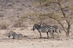 Una zebra e un'acacia dei tre Grevy. Fotografia Stock Libera da Diritti
