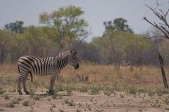 Una zebra maschio che cammina nel cespuglio immagini stock