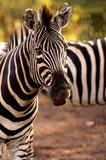 Una zebra nel selvaggio Fotografia Stock Libera da Diritti