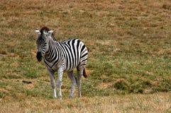 Una zebra sola Fotografie Stock