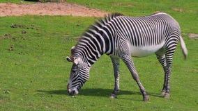 Una zebra sola mangia l'erba verso la metà dell'estate archivi video