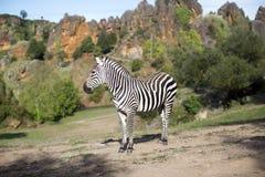 Una zebra sta da solo in un campo Fotografia Stock Libera da Diritti