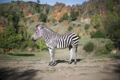 Una zebra sta da solo in un campo Immagini Stock