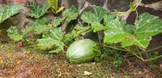 Una zucca che cresce contro una parete di pietra nei tropici Fotografie Stock