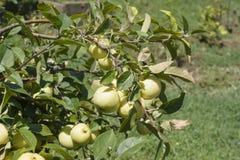 Unausgereifte Äpfel stockfoto