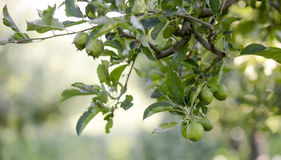 Unausgereifte Äpfel im Garten Stockbilder