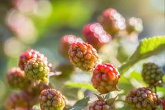 Unausgereifte blackberrys Lizenzfreie Stockbilder