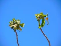 Unausgereifte Frucht des Johannisbrotbaumbaums Lizenzfreie Stockfotografie